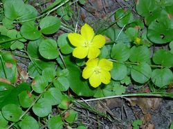 Moneywort (Creeping Jenny) Leaves and 2 Blooms