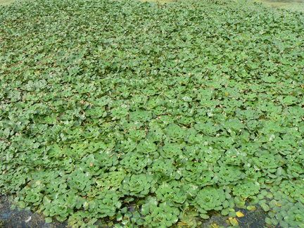 Water Chestnut Floating Leaves